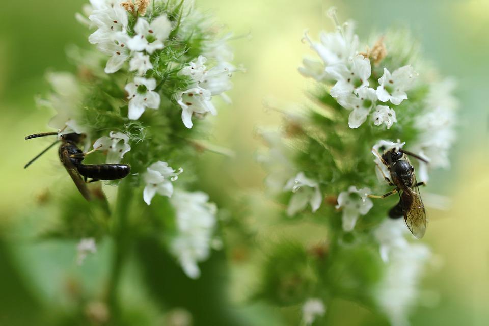 2匹の蜂が、ミントの葉に実を結んだ小さな白い花の蜜を仲良く吸っている