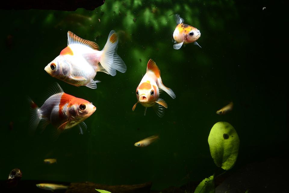 goldfish-swimming