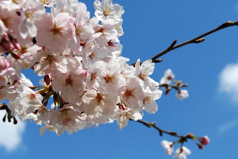 cherryblossam blue sky